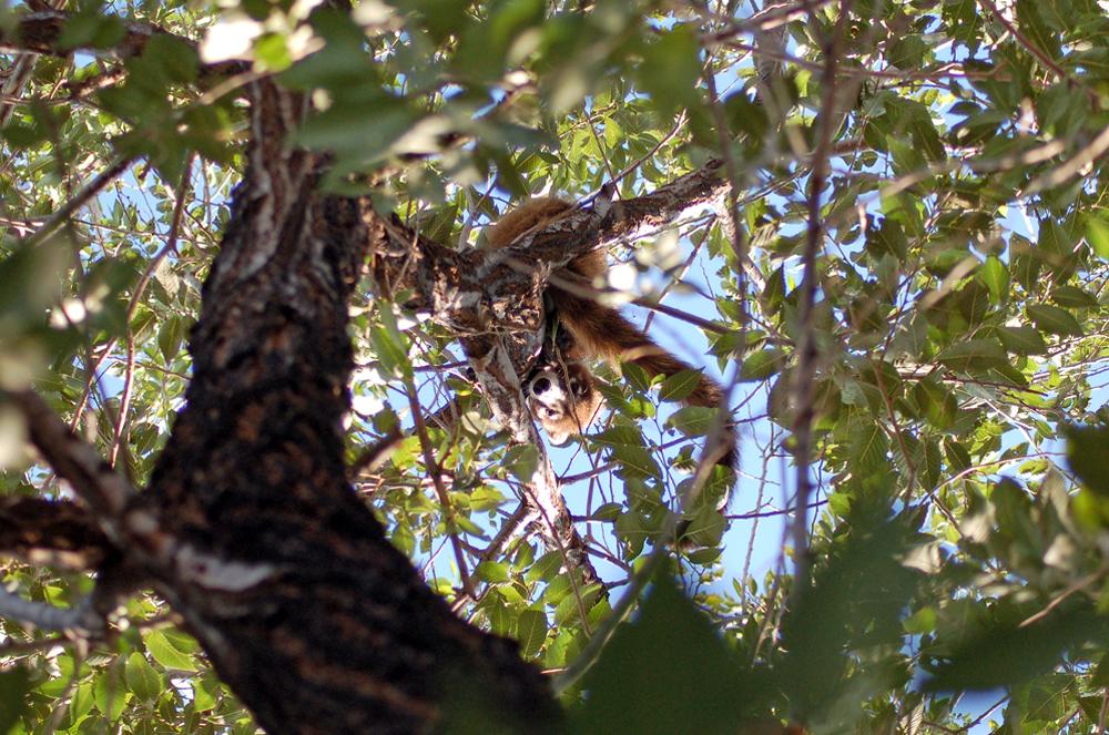 Coati in a Tree