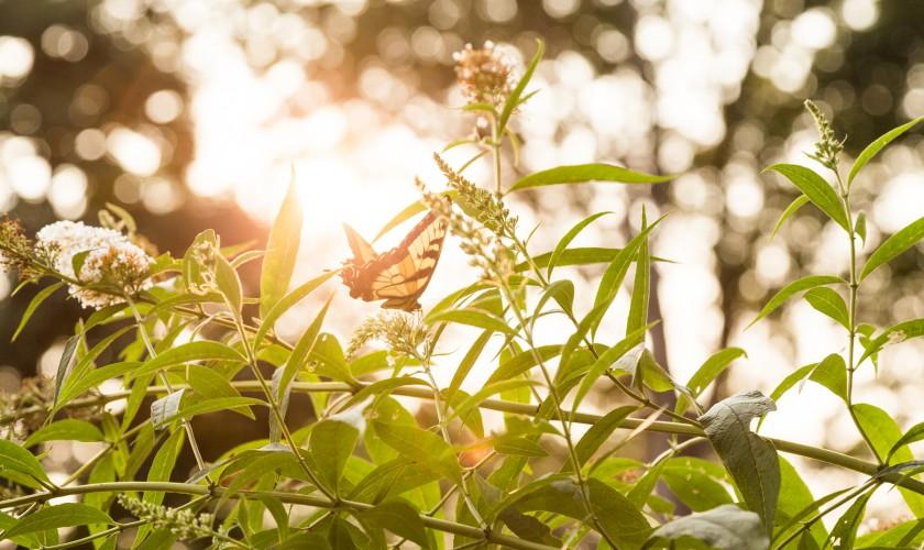 Sunshine Swallowtail