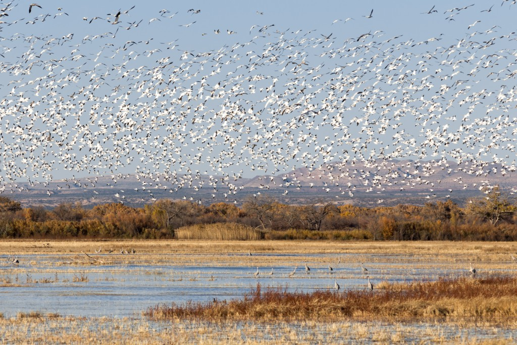 Flight of the Snow Geese.