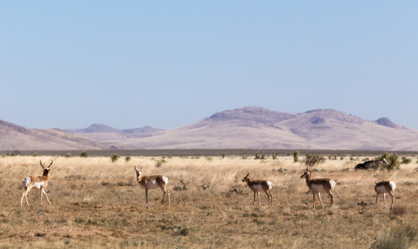 Pack of Pronghorn