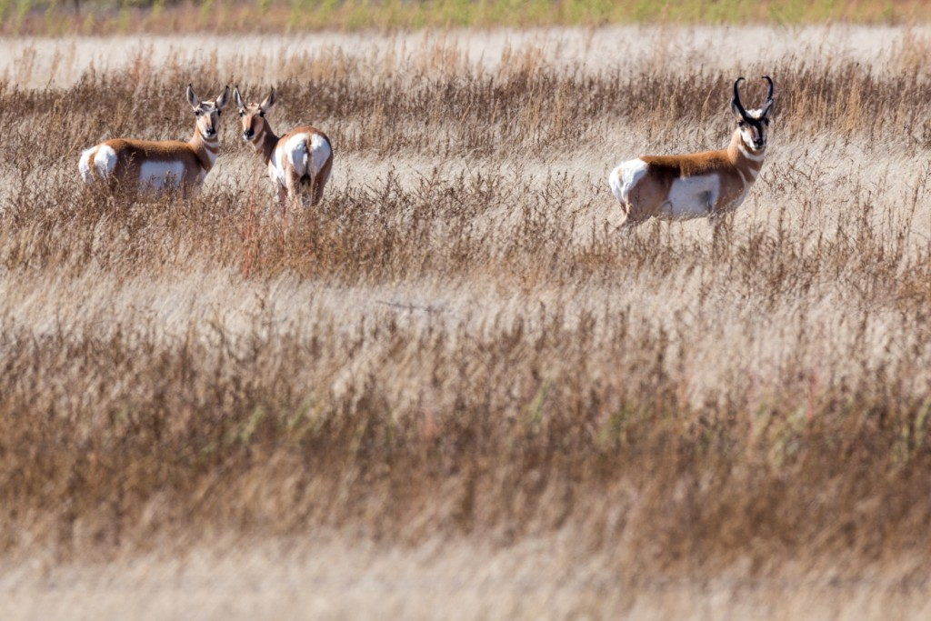 Male and two female pronghorn in northeastern New Mexico.