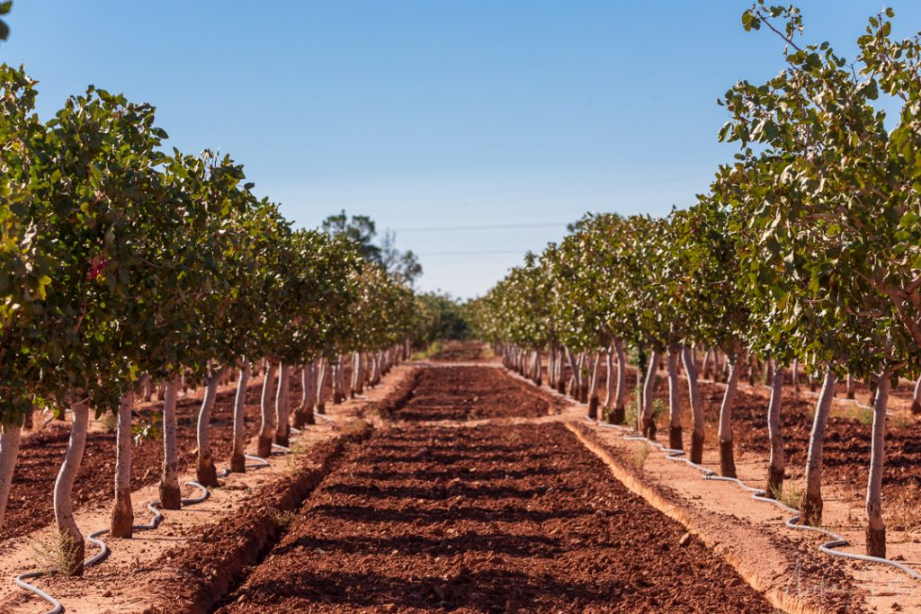 Lines of pistachio trees in an orchard outside Alamogordo, New Mexico.